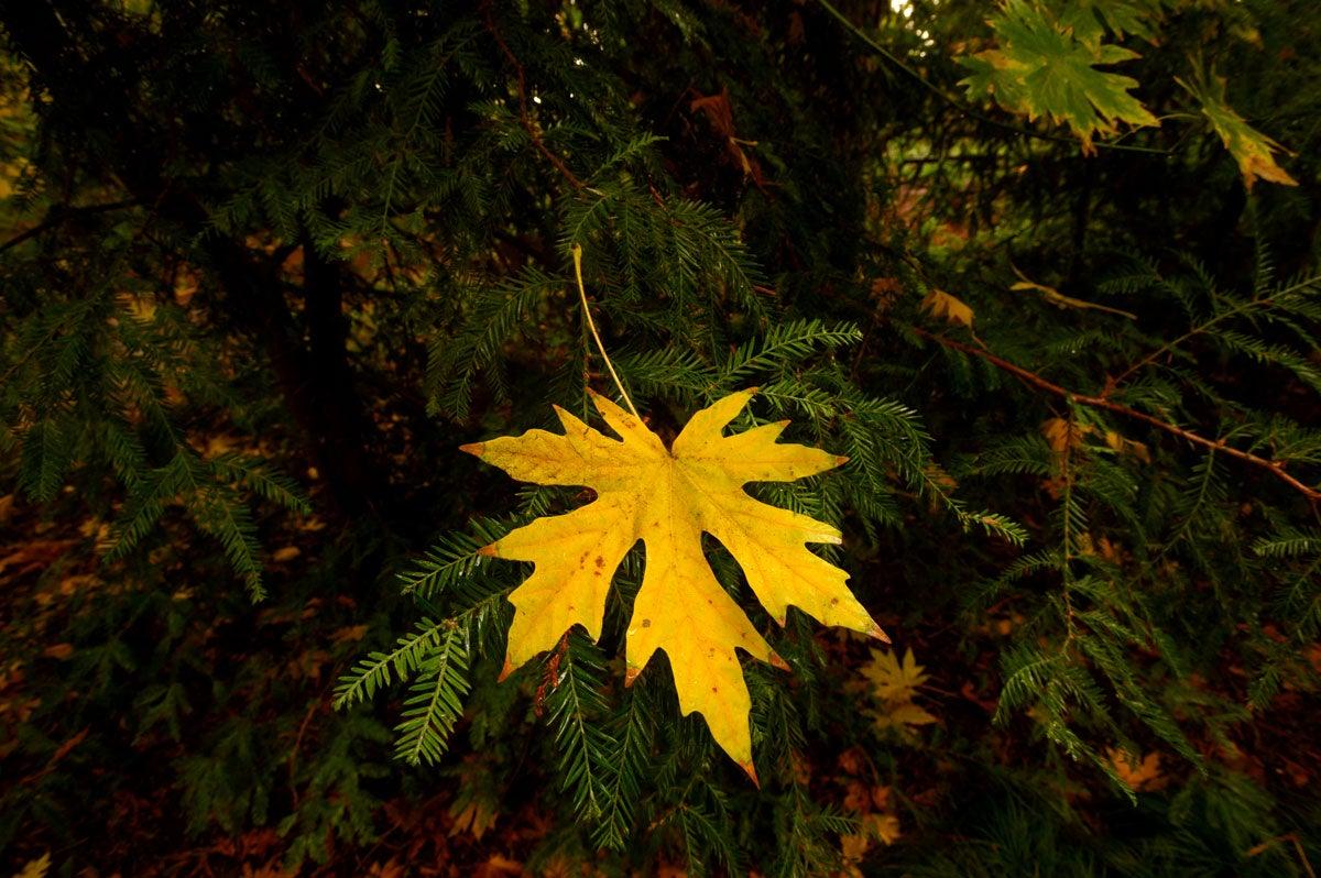 Yellow leaf on green pine