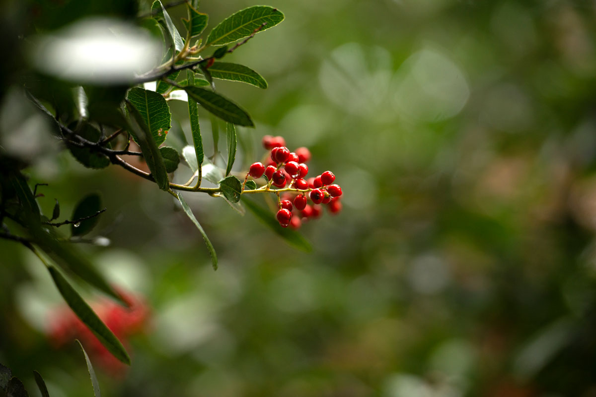 Pyracantha (red berries)