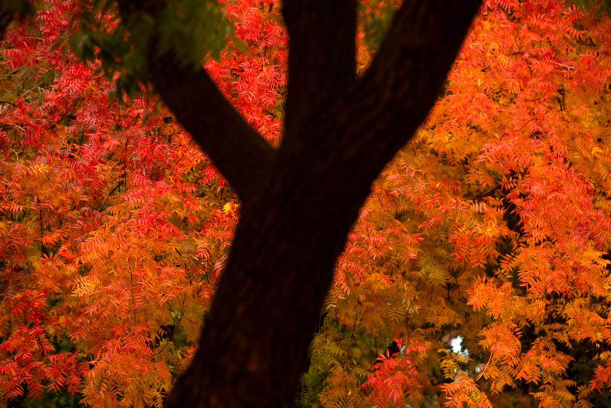 Huge splash of red leaves, trunk of another tree in foreground