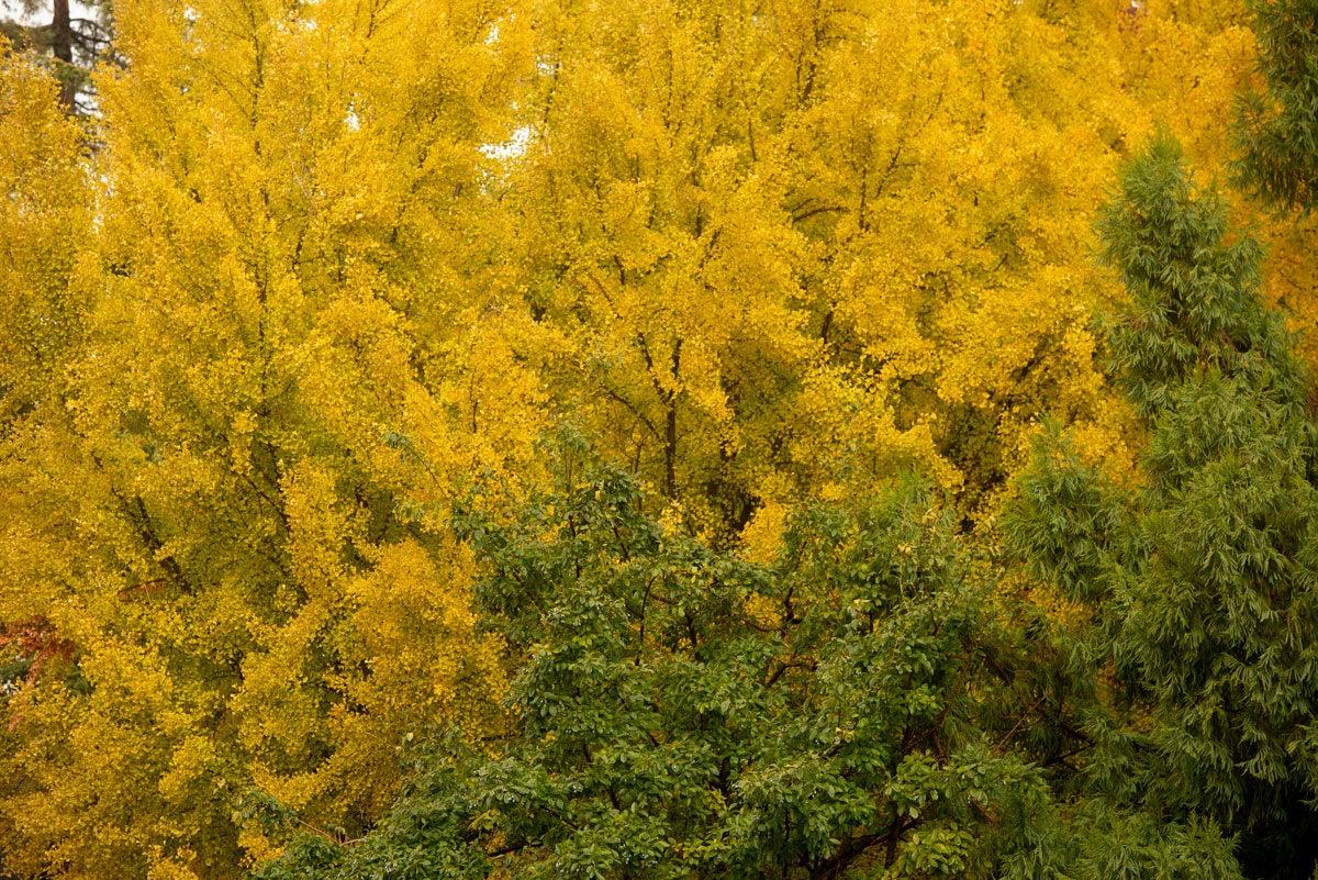 Huge splash of yellow leaves on tree