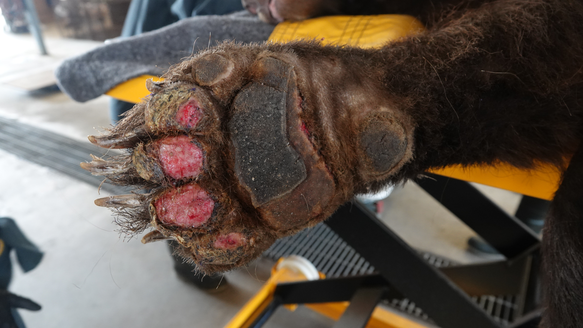 Bear paw with wounds from wildfire burn