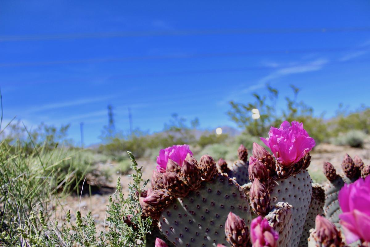 beavertail cactus at desert solar facility