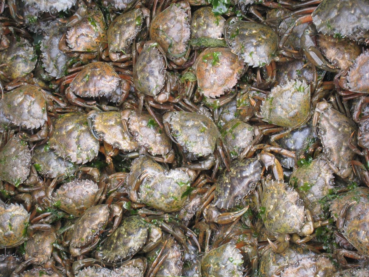 cluster of green crabs