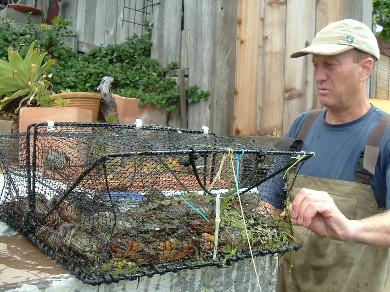 man holds cage full of invasive green crabs
