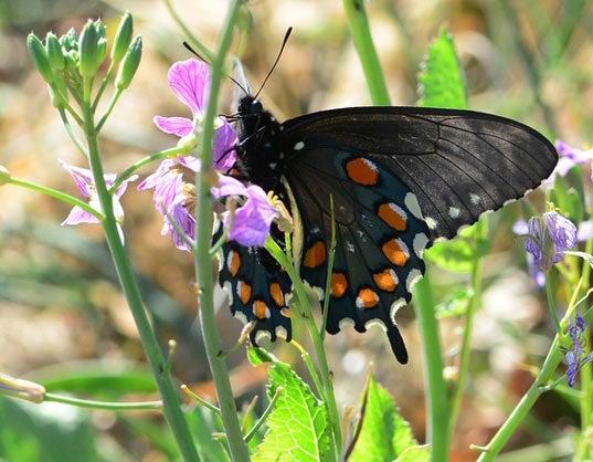 Butterfly, black with orange spots on wings