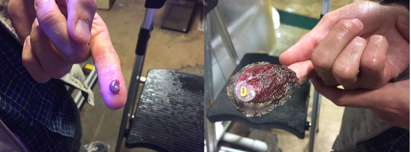 red abalone, farmed vs wild comparison
