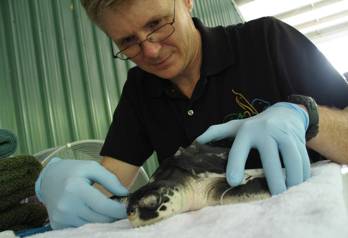 Wildlife veterinarian tends to a sea turtle.