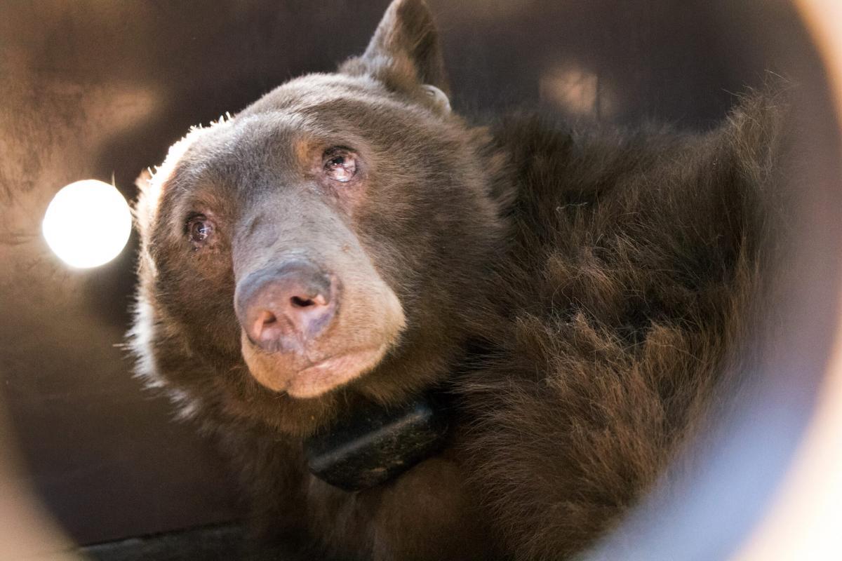bear face seen through a wildlife camera lens, UC Davis