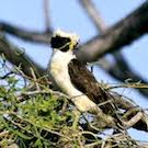 laughing falcon in nest