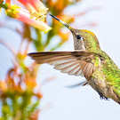 green hummingbird hovers underneath a pink and yellow flower