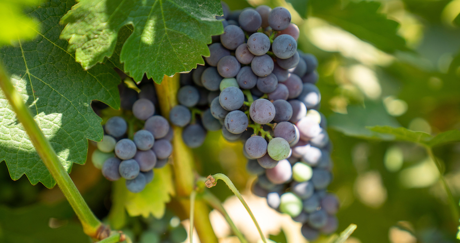 Grapes on Roduner Ranch, south of Merced
