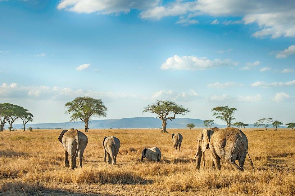 Elephants in a golden field