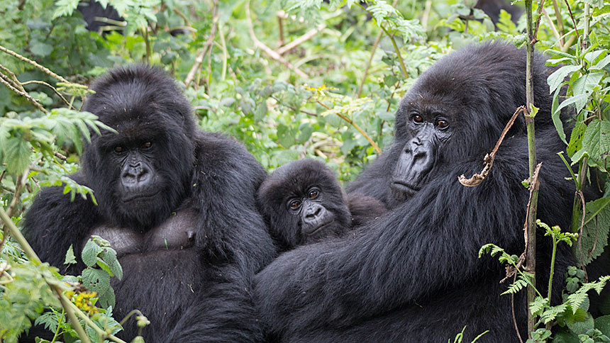 Female mother gorilla with children