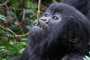 Young gorilla nibbling on a hanging stick