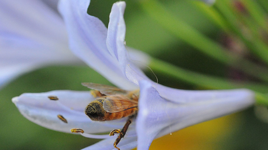 Honey bee entering a trumpet flower