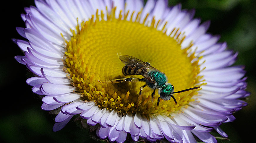 Metallic Green sweat bee on a purple flower with a yellow center