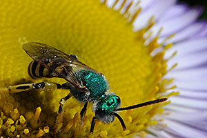 Metallic green sweat bee on the center of a purple flower