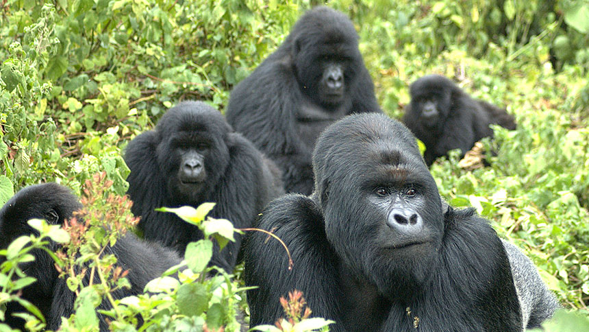 A mountain gorilla family in the wild