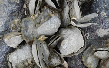Close up of oysters clinging to rock