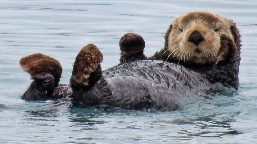 Why Sea Otters Aren't Safe From Land-based Disease | UC Davis