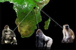 Partial map of Africa with three primate pictures