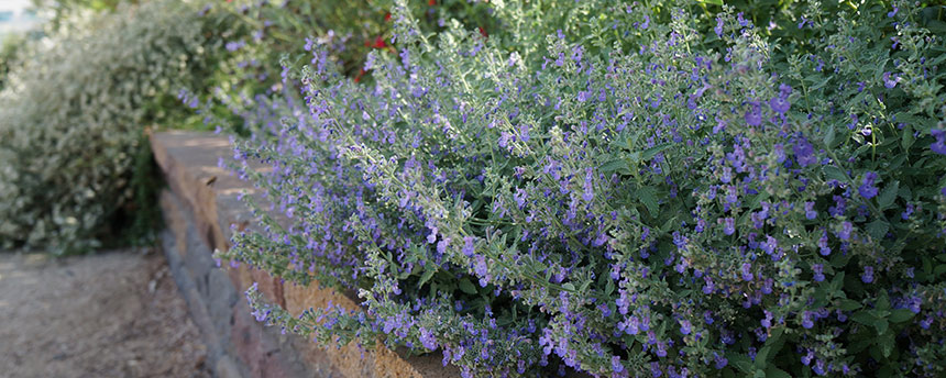 Catmint plant in a garden