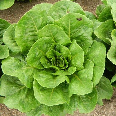 Close-up of a head of lettuce in the field with a bird dropping on an outer leaf
