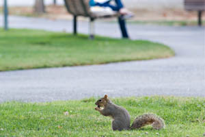 A student on a bench in the background and a squirrel foraging in the foreground