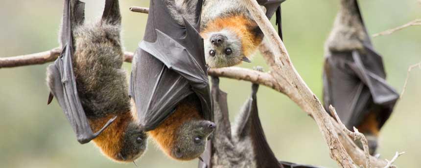five grey headed flying fox bats in a tree in Melbourne, Australia