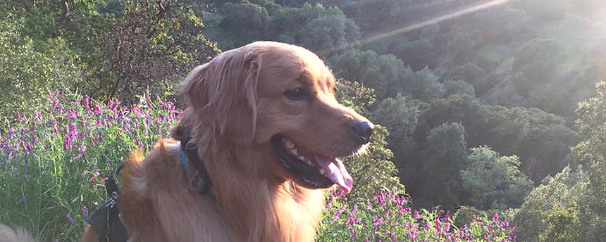 Golden retriever out in the hills