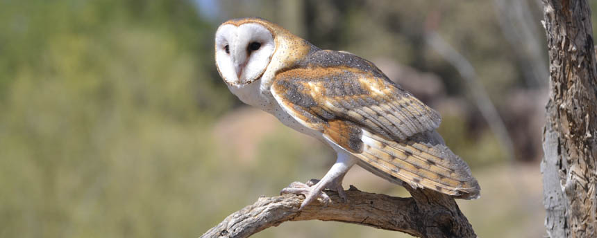 Photo of a barn owl perched on a branch