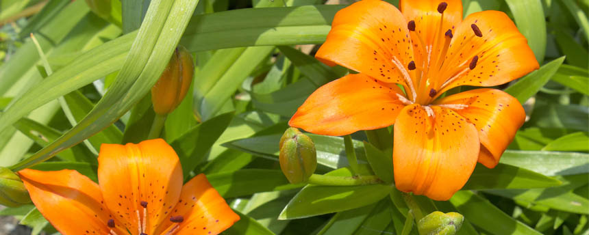 close-up of orange daylilies and leaves