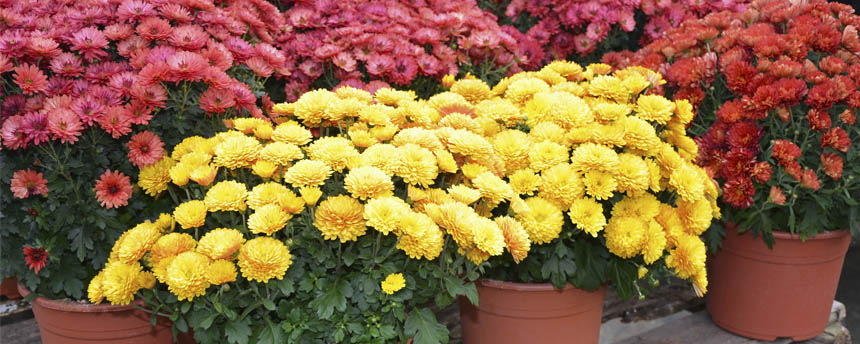potted red and yellow chrysanthemum plants on a bench