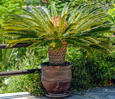 Sago palm in a pot on a sunny patio