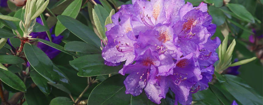 close-up of purple rhododendron flowers and branch of leaves