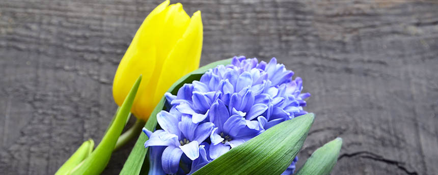 close-up of cut yellow tulip flower and cut purple hyacinth flower