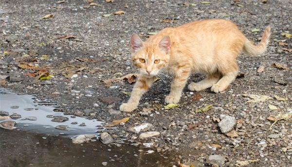An orange domestic cat walks through an urban landscape