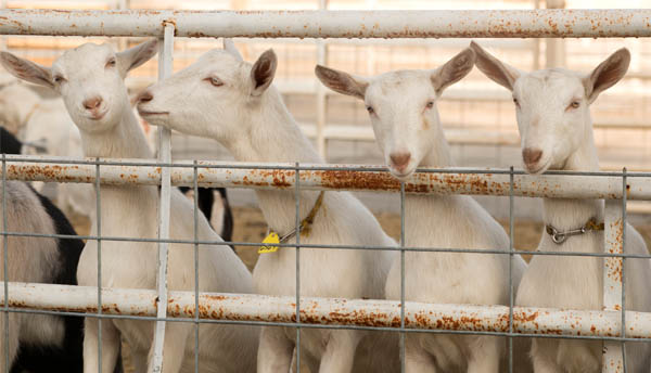 Goats in an enclosure as an example of lion prey and animal husbandry