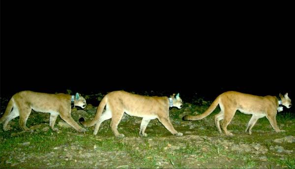 three lions wearing radio collars travel across a field at night