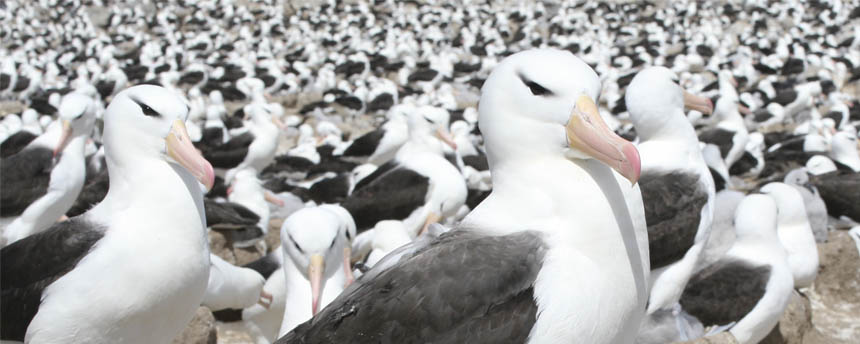 dozens of black browed albatross adults