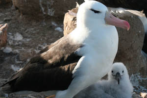 An adult albatross protects its nest and chick at a breeding site