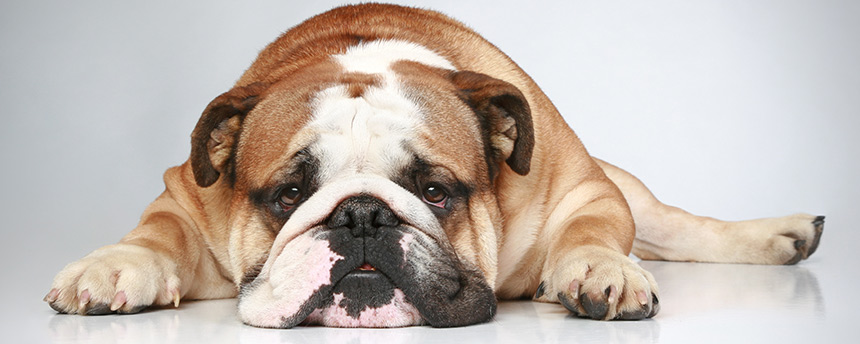 Bulldog laying down with head on floor