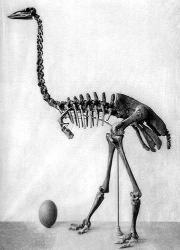 Skeleton and fossilized egg of an elephant bird