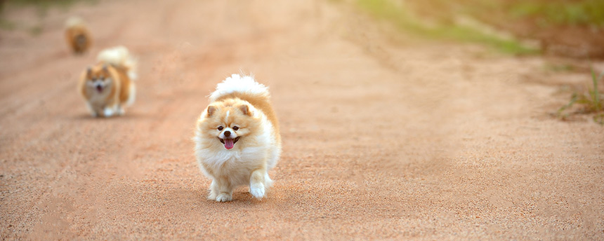 3 Pekinese dogs running up the road toward the camera