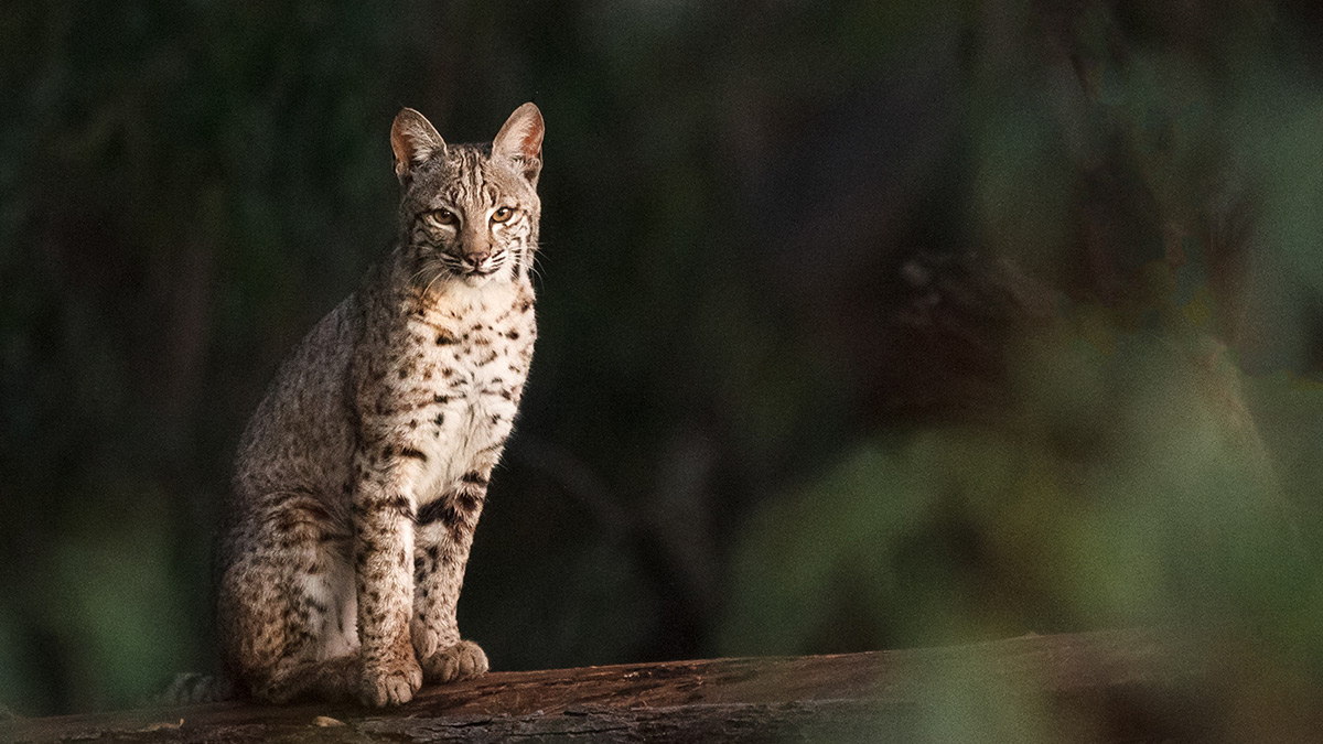 Bobcat sitting on a branch in the forest