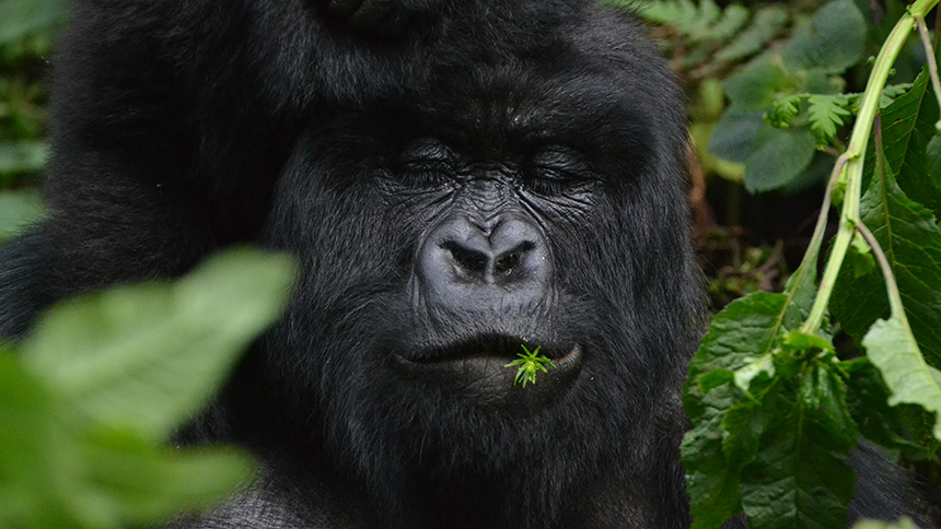 Female gorilla with eyes closed with a plant in her mouth