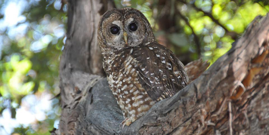 A northern spotted owl perched in the fork of a tree