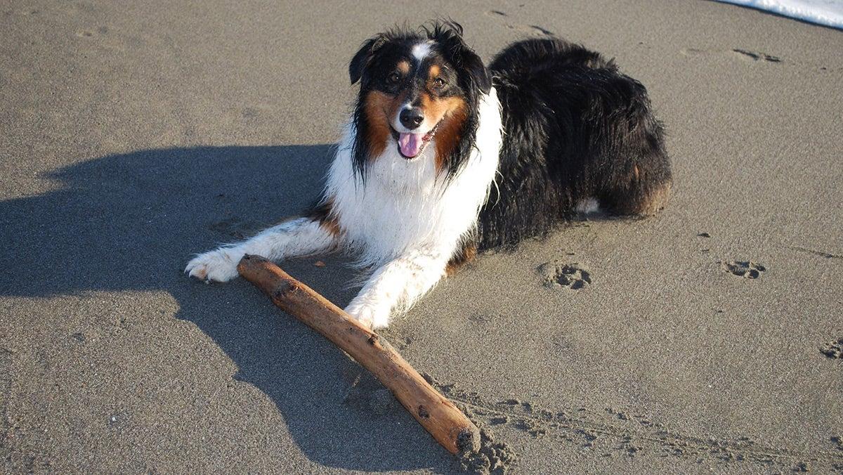 Collie-like dog on the beach with a big stick