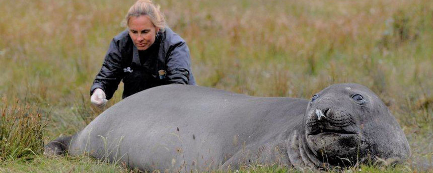 Dr. Marcela Uhart examines a southern elephant seal.