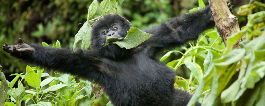 Mountain gorilla with arms reaching out